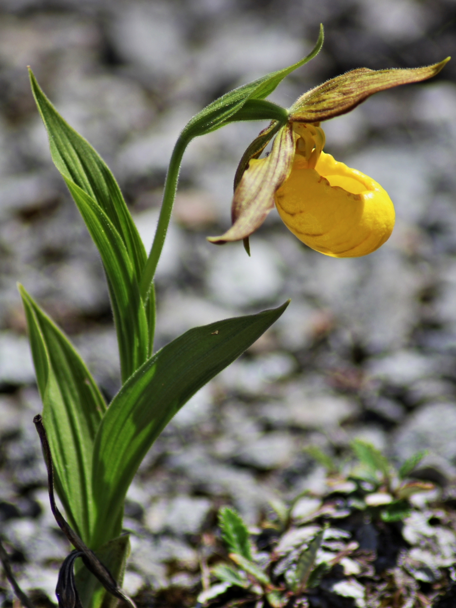 Cypripedium-parviflorum-planipetalum-44
